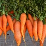 wortel2